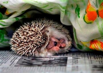 (AP Photo/The Tampa Bay Times, Jim Damaske, File). FILE - A hedgehog sleeps at the SPCA in Largo, Fla., in a Monday, Jan. 7, 2013 file photo.