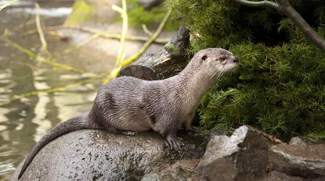 Tilly the river otter was named after the Tillamook River // Photo: Oregon Zoo