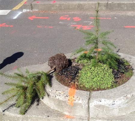 Stolen tree returned next to newly planted one. Photo: Portland Parks &amp; Recreation