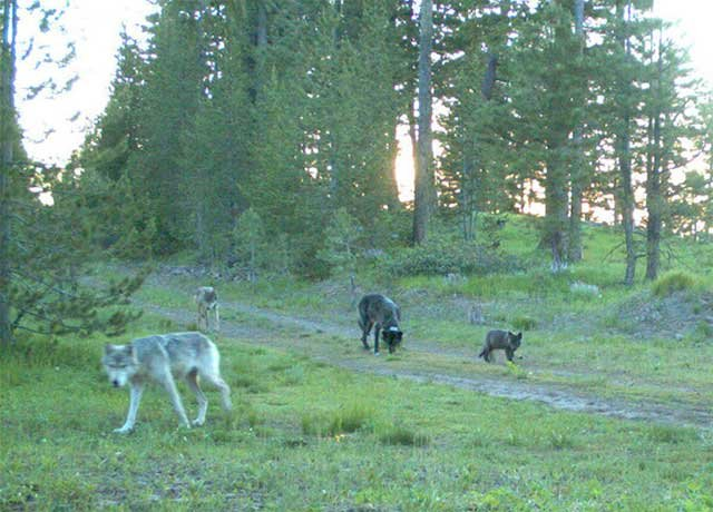 Members of the Imnaha pack are seen on a trail camera in Wallowa-Whitman National Forest on July 9, 2011. Photo courtesy of ODFW