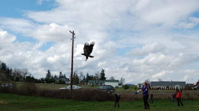 Bald eagle released in Winlock