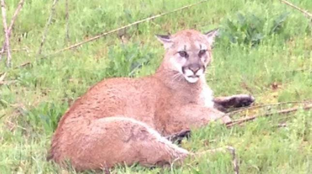 The cougar was photographed before troopers had to put her down. // Photo: Washington State Patrol