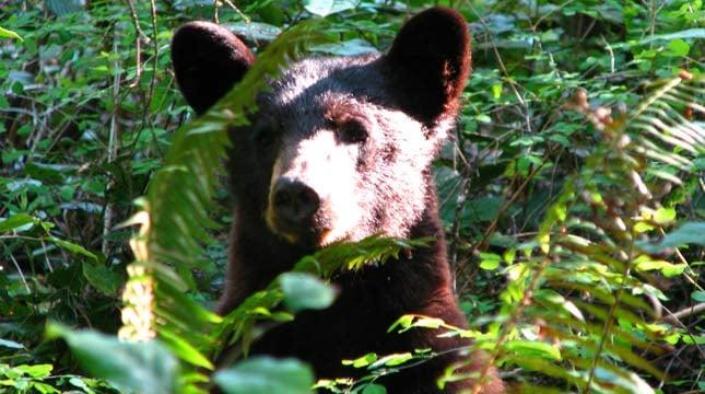 Bear at Lacamas Park // Photo: Tom Fisher