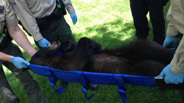 The bear after being tranquilized Friday in a neighborhood near Lacamas Lake