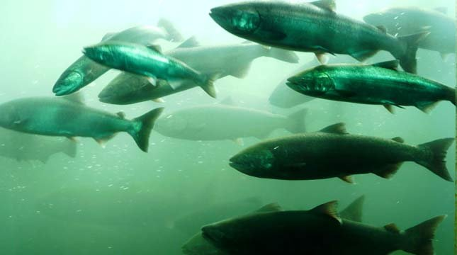 Historic number of salmon passing through bonneville dam for Bonneville dam fish count
