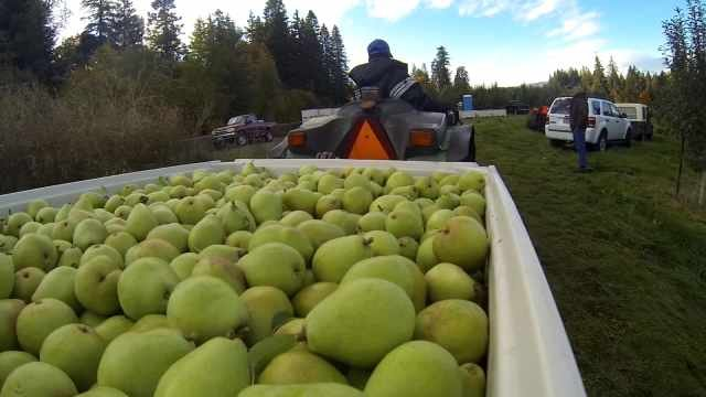 Pear farmers in Oregon say there's a shortage of farm workers, and economists say Americans could end up paying a lot more for food in the future as a result.