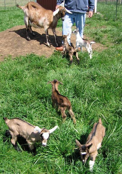 Photo: Laurie Carlson, Fairview Farm Goat Dairy