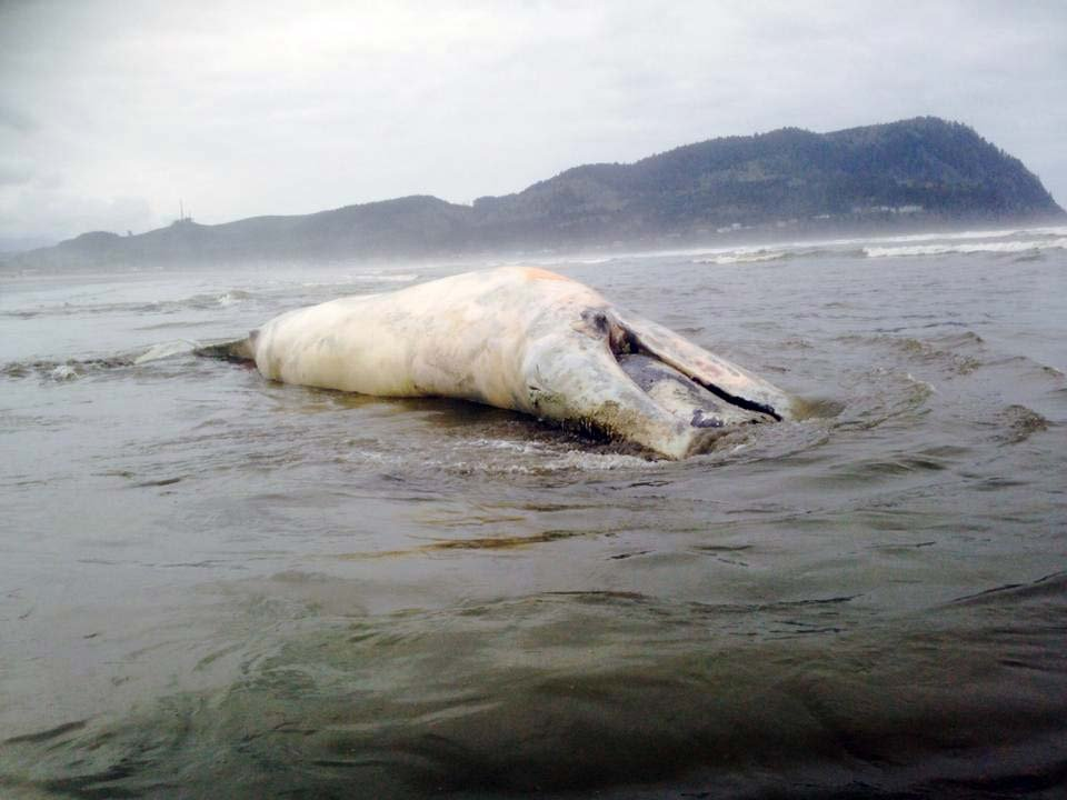 A dead gray whale washed ashore on the Oregon Coast on Tuesday. (Photo: Matt Fletcher)