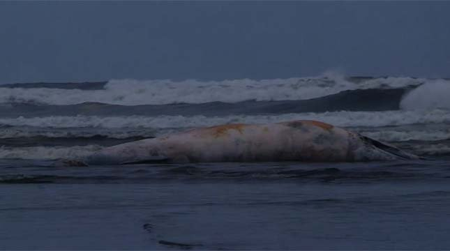 The whale will likely be buried, according to marine mammal experts.
