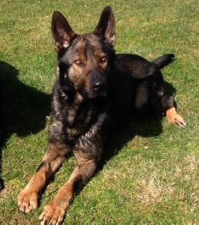 The Portland Police Bureau provided this photo of a K-9 killed in action.