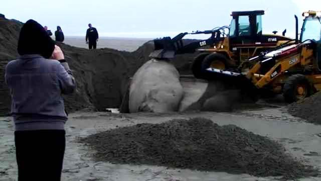 40-foot whale buried after washing ashore on Oregon coast