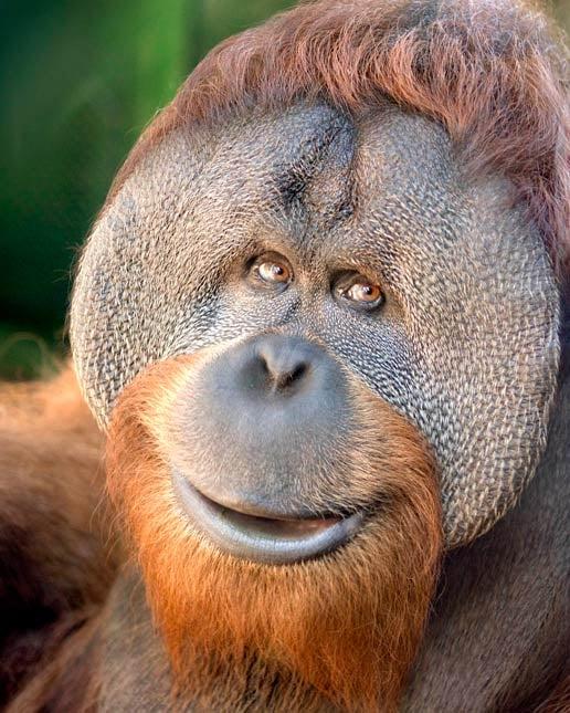 "Oregon Zoo orangutan Kutai died the first week of January following what the zoo called a ""minor surgery."" (Photo: Oregon Zoo)"