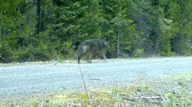 Remote camera photo of a wolf using the same area as OR7. This is the first evidence that OR7 has found another wolf in the Oregon Cascades. Photo courtesy of USFWS.
