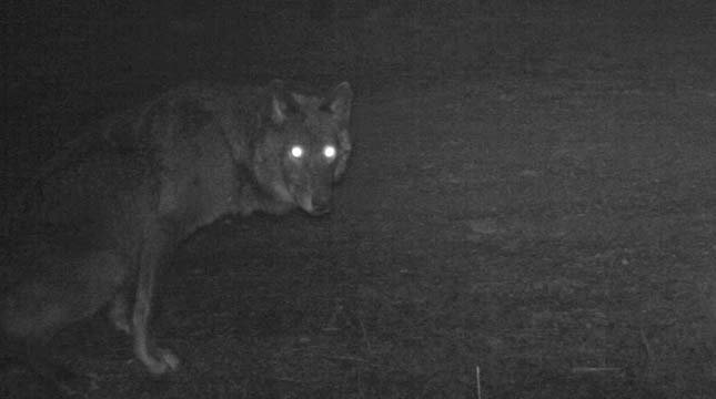 Remote camera photo of a black wolf that appears to be a female. Photo captured 5/4/2014 in the same area as OR7. Photo courtesy of USFWS.