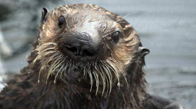 Oswald, photo courtesy the Oregon Coast Aquarium
