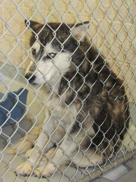 Forest Park malamute photo: Multnomah County Animal Services
