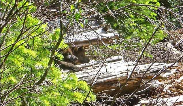 Wandering wolf and mate produce first oregon pups since for Oregon department of fish and wildlife