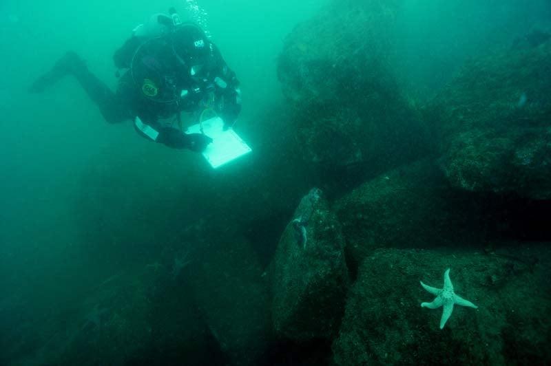 An Oregon Coast Aquarium diver monitors a healthy sea star near Newport, Oregon. (Photo courtesy of Oregon Coast Aquarium)