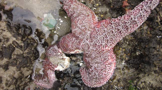 The leg of this purple ochre sea star in Oregon is disintegrating, as it dies from sea star wasting syndrome. (Photo by Elizabeth Cerny-Chipman, courtesy of Oregon State University)
