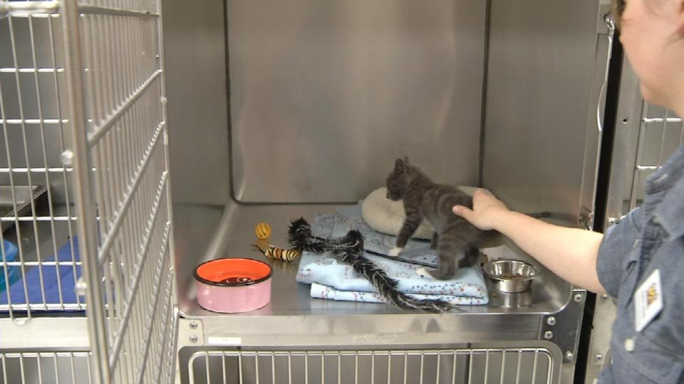 Lil' Motor is now at the Cat Adoption Team, waiting to go home