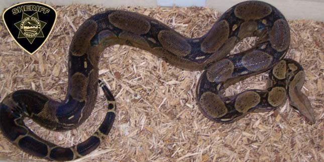 Photo of snake similar to one missing in Salem neighborhood from the Marion County Sheriff's Office.
