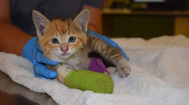 Dove the kitten, leg amputated after being rescued from car's brakes. Photo courtesy of DoveLewis.