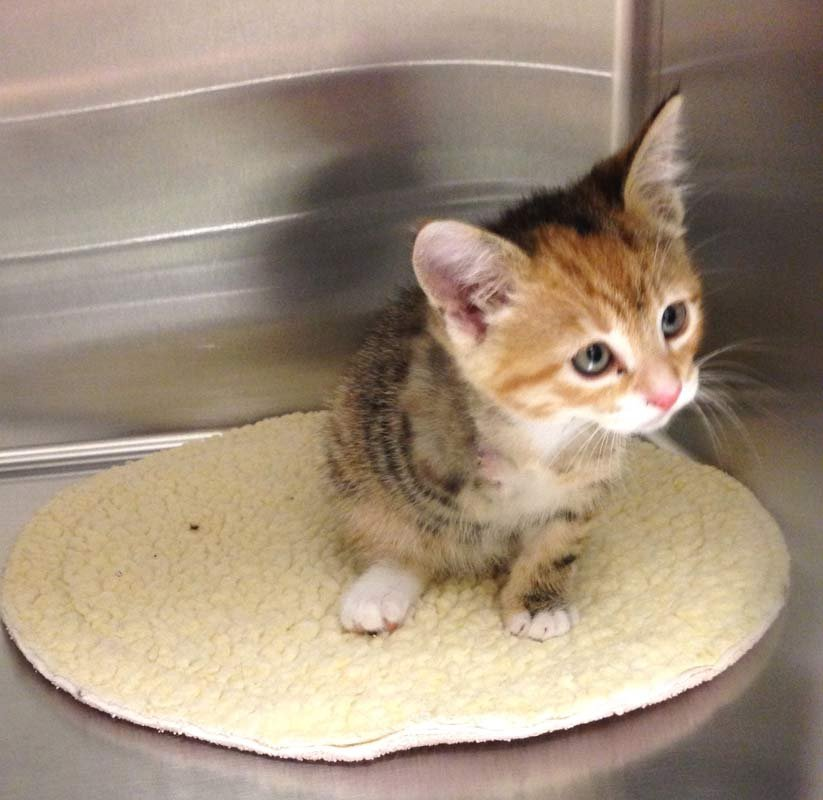 Dove the kitten, leg amputated after being rescued from car's brakes. Photo courtesy of Cat Adoption Team