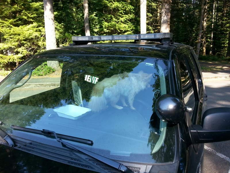 Deputies rescued a dog locked in a hot car and gave it water and air conditioning in a patrol car while the owner allegedly went for a hike. Photo: Marion Co. Sheriff's Office
