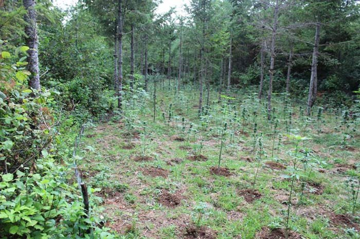 A man was arrested at the site of a massive marijuana growing operation on private timber land in Linn County. Photo: Linn Co. Sheriff's Office
