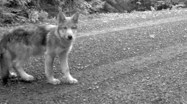 Surveillance photo of one of OR-7's wolf pups. File image from USFWS.