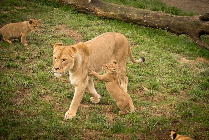 Pregnant lion more little lion cubs on the way oregon zoo lion is