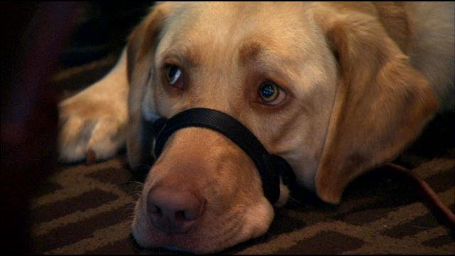 Ryley, a yellow lab, will help Rodriguez readjust to civilian life.
