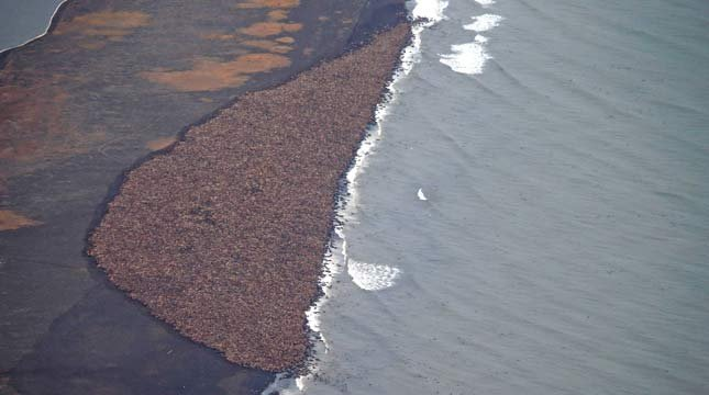 In this aerial photo taken on Sept. 27, 2014, and provided by NOAA, some 35,000 walrus gather on shore near Point Lay, Alaska. (AP Photo/NOAA, Corey Accardo)