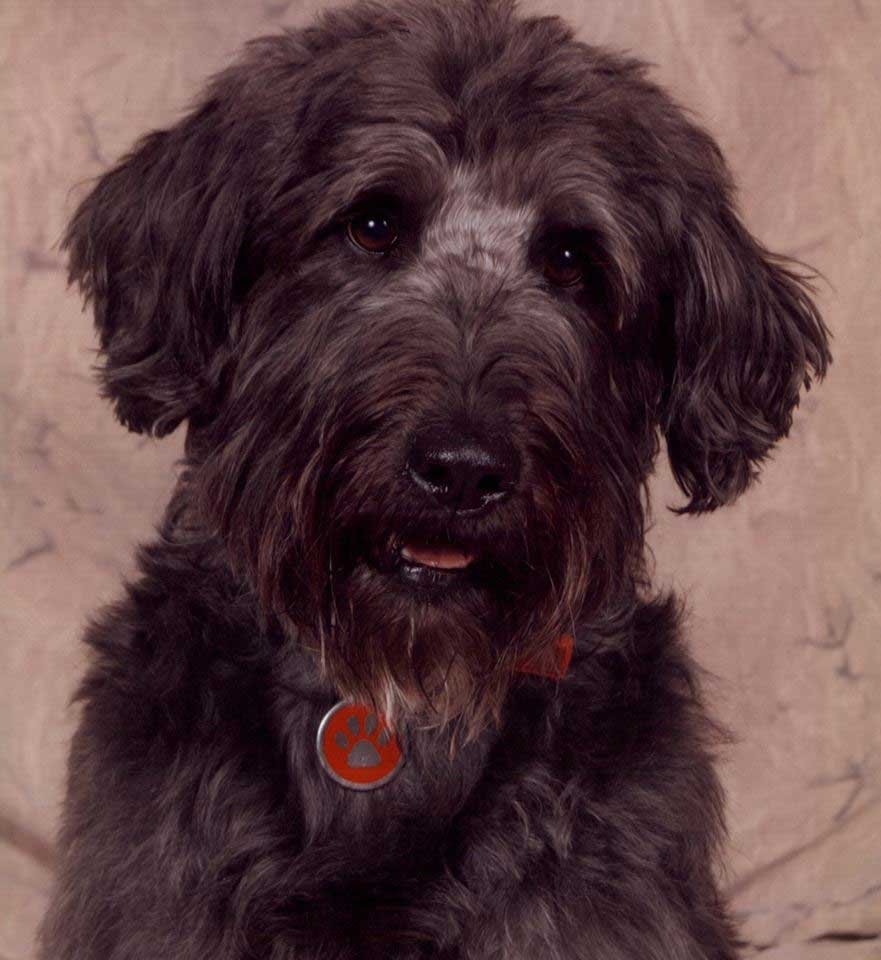 Stanley the labradoodle went missing Oct. 13