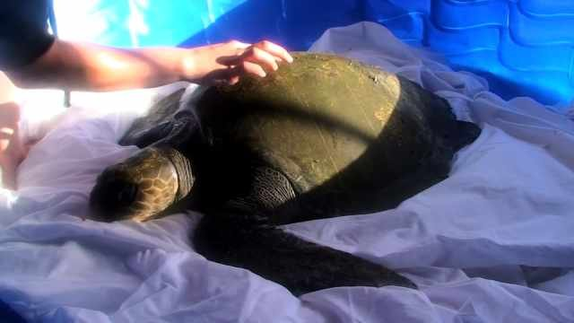 Hypothermic Turtle 39 Solstice 39 Rescued On Washington