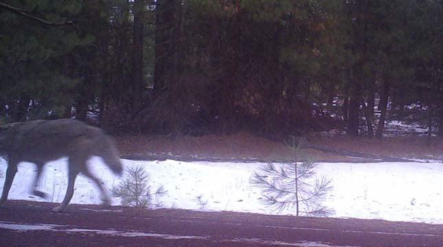Remote camera image of wolf on Jan. 5, 2015 in Keno Unit (southwest Cascades). Photo courtesy of ODFW.