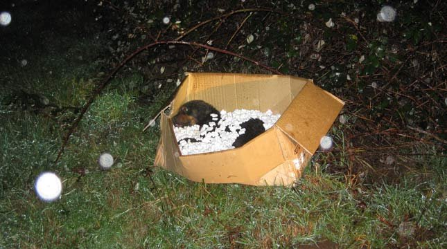A severely injured Rottweiler was put in a box and dumped in a Damascus field by two people driving a U-Haul truck. (Photo: Clackamas Co. Sheriff's Office)