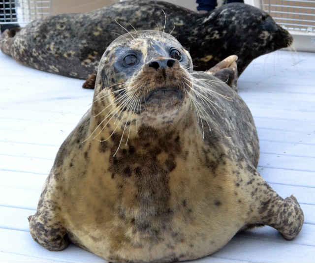 Oregon Coast Aquarium Adopts Three Harbor Seals From