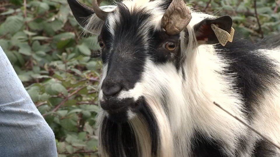 DEQ says if there are contaminants in the soil, the blackberries the goats are eating won't readily absorb them, so it is unlikely the goats are at any risk of getting sick.