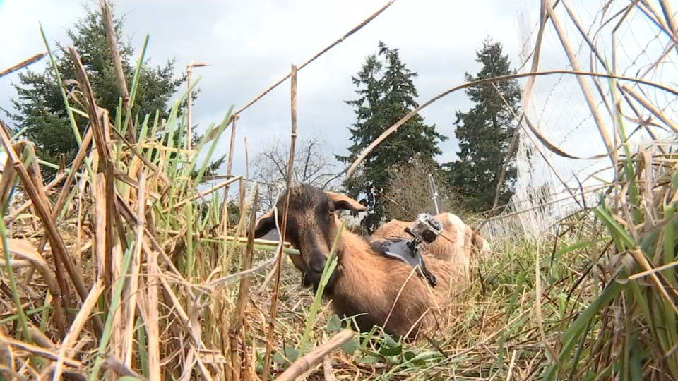 Green Lents attached a GoPro camera to one of the goats to capture footage of their hard work.