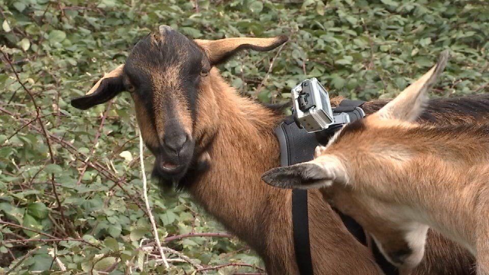 "Green Lents has dubbed the camera ""Goat Pro."""