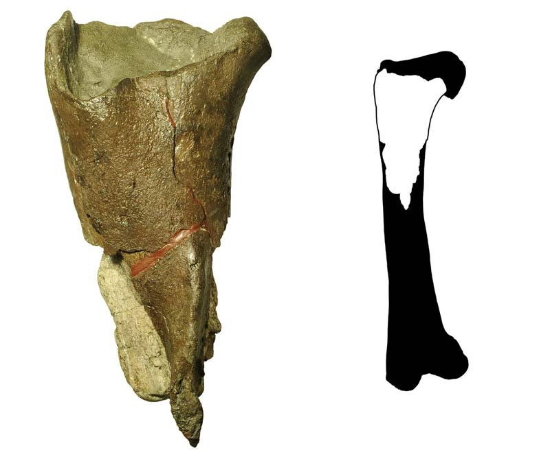 The first dinosaur fossil described from Washington State (left) is a portion of a femur leg bone (right) from a theropod dinosaur. Credit: Illustration courtesy of PLOS ONE, modified by the Burke Museum