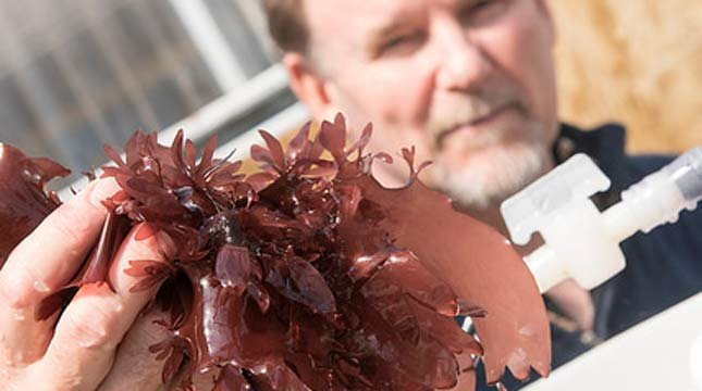 Chris Langdon has been growing and studying dulse at Hatfield Marine Science Center in Newport Oregon for decades. (Photo by Stephen Ward, OSU Extension and Experiment Station Communications)