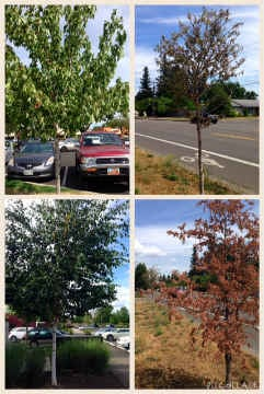 Water-starved trees like these in Eugene and Springfield can also be spotted in Portland and southern Oregon (Photos: Oregon Department of Forestry)
