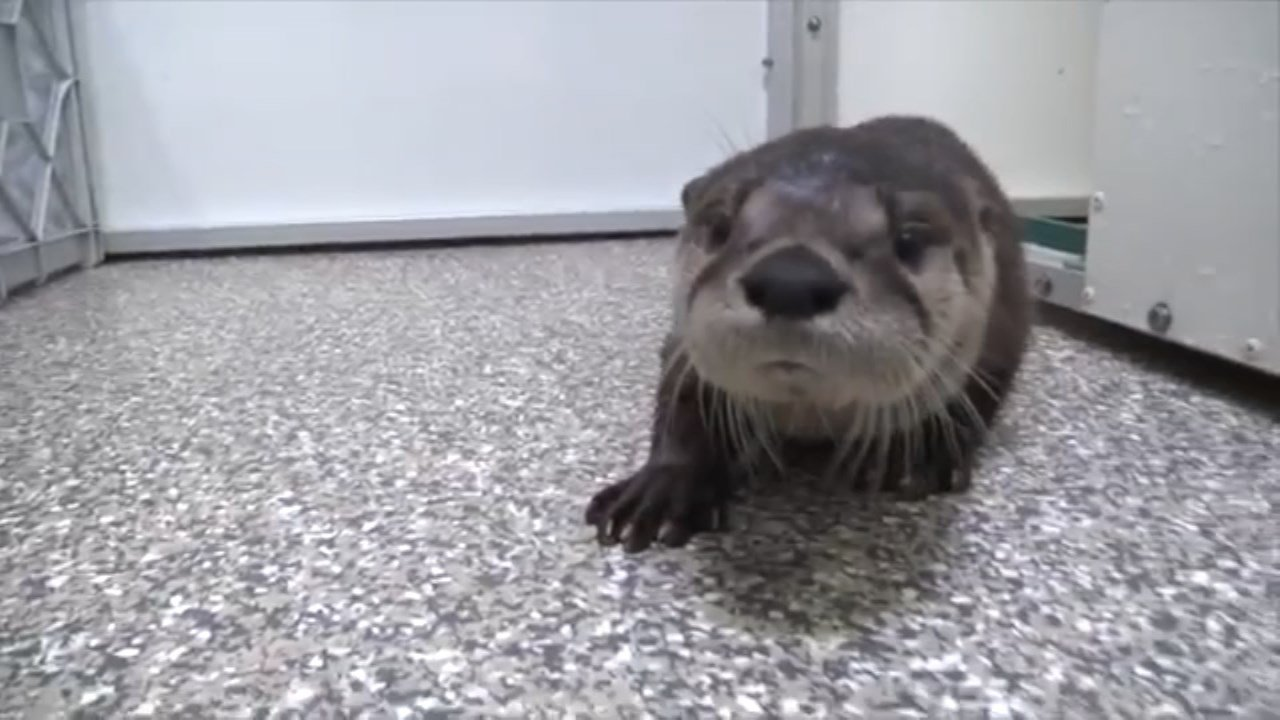 Little Pudding, rescued river otter pup. (Image: Oregon Zoo)