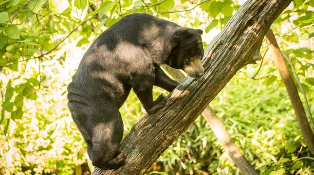 Vivian, a Malayan sun bear, climbs a log at the Oregon Zoo. Sun bears are one of many species threatened by deforestation to make way for palm oil plantations. Photo by Michael Durham, courtesy of the Oregon Zoo.