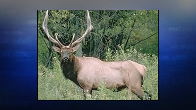 Bull elk, file image (Photo: Oregon Department of Fish and Wildlife)