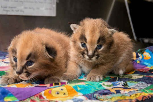 The 2-week old caracal kittens (Photo: Oregon Zoo)