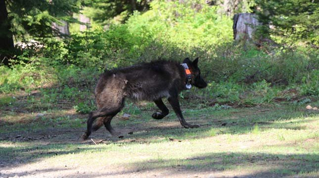 OR28. A 72 lb yearling female wolf from the Mt. Emily pack was captured and GPS collared on 6/7/2014. Photo courtesy of ODFW.