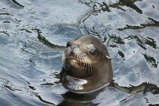 Koa (Photo: Oregon Coast Aquarium)